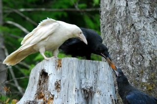 Black and white ravens, Vancouver Island. Photo © Mike Yip 2008