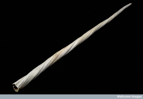 This tusk (which originally forms from a tooth) is from the male of a small whale called a narwhal.  For centuries such tusks, which could grow several metres in length, were claimed to be from the unicorn. As powdered 'unicorn horn' was used in a number of different medical preparations these tusks became highly valued and the whales heavily hunted.