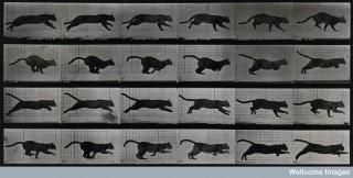 A cat running by Eadweard Muybridge, 1887.
