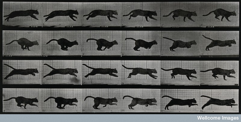 A cat running by Eadweard Muybridge, 1887.