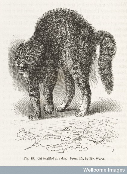 Illustration of cat terrified at a dog from The Expression of the Emotions in Man and Animals by Charles Darwin, 1872.