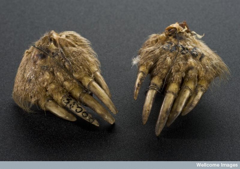 Mole's foot amulet.