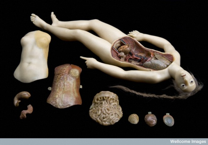 Anatomical Venus, a wax figure of reclining woman.