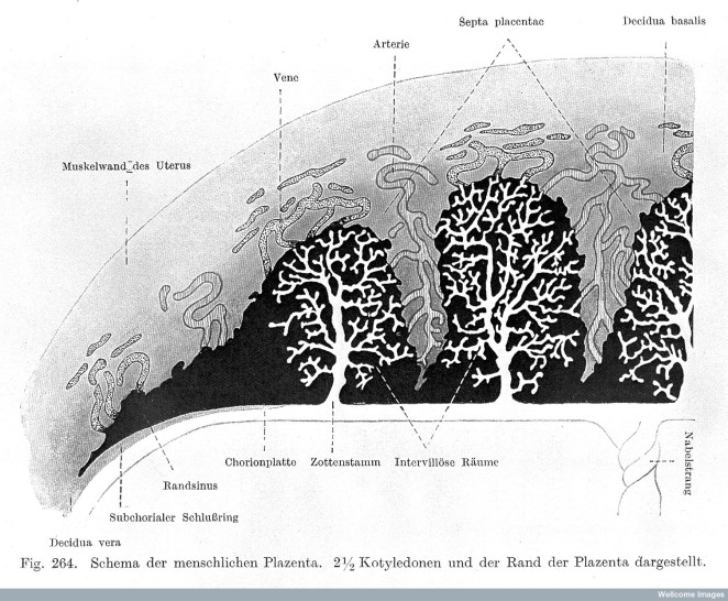 Human Placenta in Cross-Section, from a German diagram (Wellcome Collection).