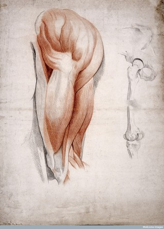 The Bones and Muscles of the Hip and Thigh, 1841 (Wellcome Collection).