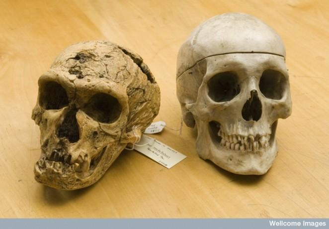 C0030549 Pre-historic Skulls