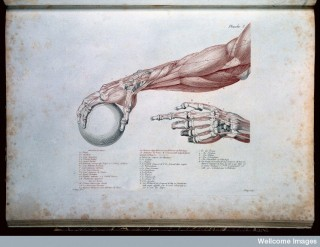 L0011869 Arm illustration, from Anatomie du Gladiateur. Credit: Wellcome Library, London. Wellcome Images images@wellcome.ac.uk http://wellcomeimages.org Arm illustration. Anatomie du gladiateur Salvage, J.G. Published: 1812 Copyrighted work available under Creative Commons Attribution only licence CC BY 4.0 http://creativecommons.org/licenses/by/4.0/