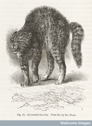 Credit: Wellcome Library, London. Wellcome Images images@wellcome.ac.uk http://wellcomeimages.org Illustration of cat terrified at a dog from Chapter V Special Expressions of Animals 1872 The expression of the emotions in man and animals / Charles Darwin Published: 1872. Copyrighted work available under Creative Commons Attribution only licence CC BY 4.0 http://creativecommons.org/licenses/by/4.0/