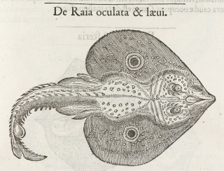 Guillaume Rondelet, a 16th century naturalist, had observed the torpedo's stupefying faculty in this study of marine life.