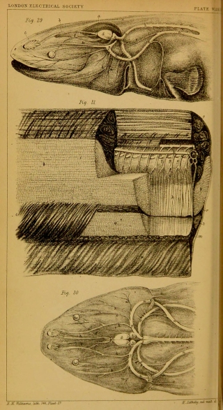 An account of the dissection of a Gymnotus electricus : together with reasons for believing that it derives its electricity from the brain and spinal cord, and that the nervous and electrical forces are identical, by Henry Letheby. A chemist and medical officer of health in London, Henry Letheby was interested in the medical application of electricity.