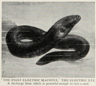 Arthur Mee's Popular Science magazine described the electric eel as the 'earliest electric machines used by man'.
