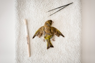 Clean and dry, the finch's feathers regain their browns, yellows and greys.