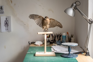Taxidermy derives from Greek: 'taxis' meaning 'order', 'derma' meaning skin.